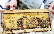آمار فاجعه بار تلف شدن ۵۲ درصد از جمعیت زنبورهای عسل در برخی استان ها