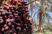 مصرف خرما در ماه مبارک رمضان حدود ۴۰ تا ۵۰ درصد سالیانه کشور است