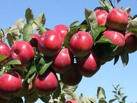 خرید تضمینی ۱۷۰۰ تن سیب از باغداران نهاوندی