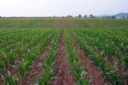 رشد 300 درصدی تولید محصولات کشاورزی با اجرای طرح رهبری در دشت آزادگان