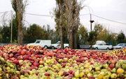 خرید تضمینی سیب صنعتی اجرایی نشد
