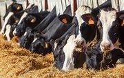 افزایش ۱۲ درصدی تعداد گاو و گوساله پروار شده