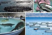 راه اندازی مجتمع ۵۰۰تنی تکثیر و پرورش ماهی در کوهستک سیریک